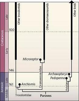 Arbre phylogénétique des troodontidés, dromaeosauridés et oiseaux