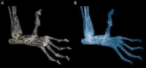 pied de Darwinius masillae
