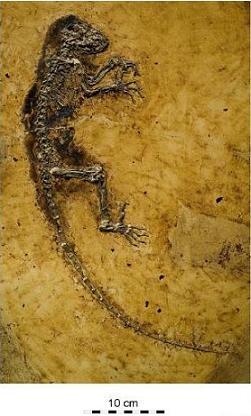 holotype de Darwinius masillae (PMO 214.214)