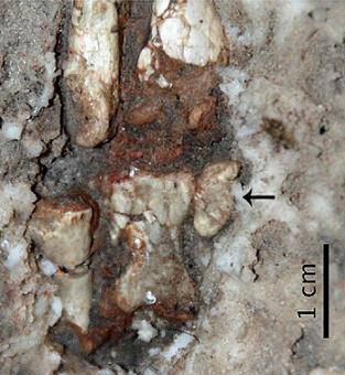 Détail de la main de Limusaurus inextricabilis