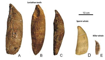 Comparaison entre les dents de Livyatan, du cachalot et de l`orque