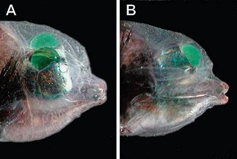 Deux orientations possibles des yeux du Macropinna microstoma