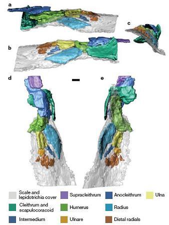 Nageoire pectorale de Panderichthys
