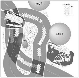 Schéma du fossile montrant Sanajeh et le bébé sauropode