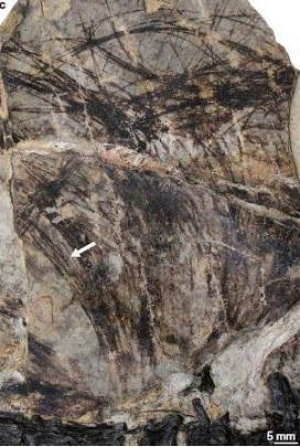 Tianyulong confuciusi, détail des poils
