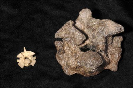 Comparaison entre une vertèbre de Titanoboa et celle d`un anaconda actuel