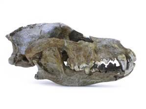 Crâne du premier chien domestique, trouvé à Goyet (Belgique)